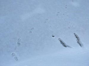 Marten on the ice