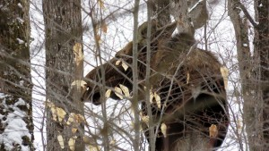 Moose in the Forest - Trailing Success