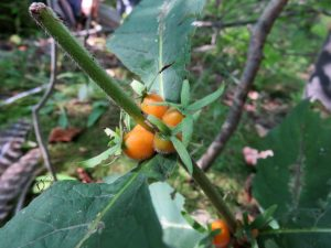 Wild Coffee - Triosteum Perfoliatum